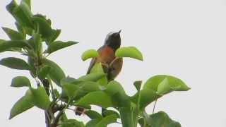 Pleszka Common Redstart Phoenicurus phoenicurus