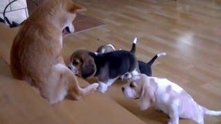 Szczeniaki beagle 6 tygdni / beagle puppies six weeks old