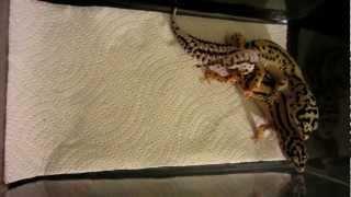 Leopard Geckos Mating - Bandit Pair - Copulation