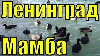 Лысуха лыска болотная водяная курица курочка / Музыка группа Ленинград Мамба минусовка клипы хиты