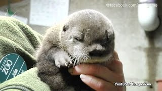Otter-Baby: So süß ist der Nachwuchs im Oregon Zoo
