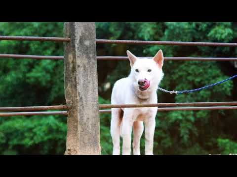 Chó lài chó săn bản địa ảnh st