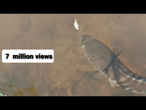 Amazing Fish Catching Murrel