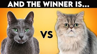 Persian Cat Vs Russian Blue: Which One Is Best For You? (Cat Breed Comparison)