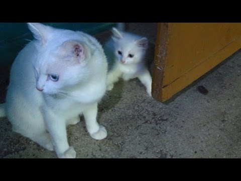 White cat with kittens walking on the third floor