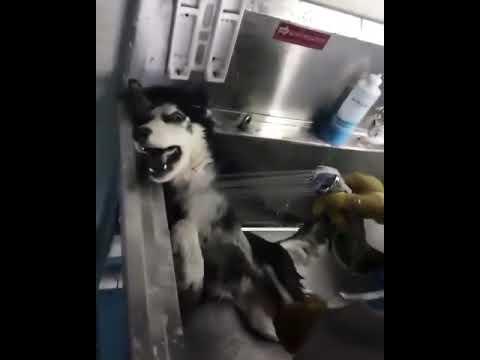 Bathing Husky - we are not killing you ,dude
