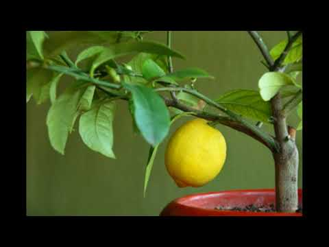 Как и чем подкормить лимон в домашних условиях