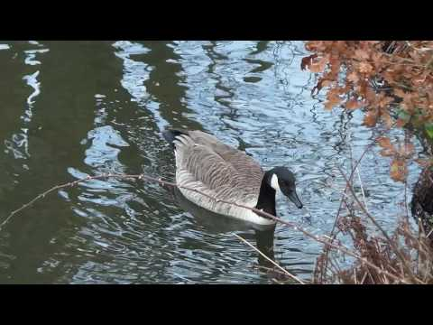 Lorraine Pooley Photography - Canal Wildlife - Moorhen & Canada Geese - Lancashire