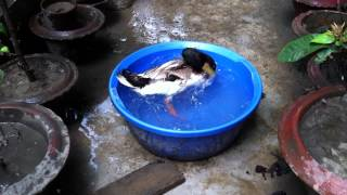 Ducks Fighting Over Bathtub Control :D