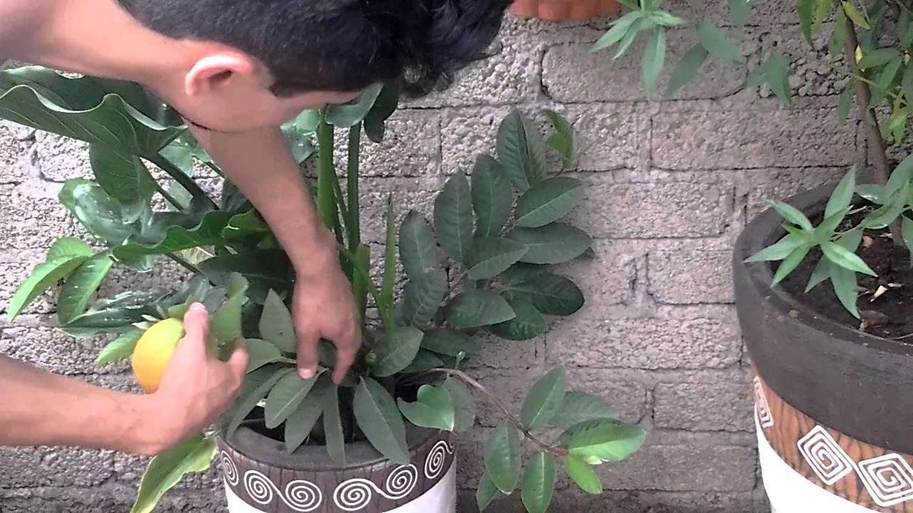 Huerto Urbano frutales en maceta YouTube