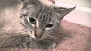 Fern-  1 yr. Lilac Lynx Point Siamese Rifle Animal Shelter 970-625-8808
