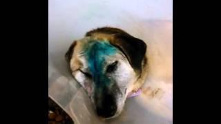 Собака Морса после операции(Собака из Московского приюта в Щербинке после ринотомии и трепанации, находится сейчас в стационаре клиник..., 2016-01-24T11:07:50.000Z)
