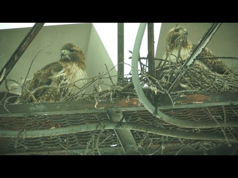 Cornell Red-tailed Hawks Nest Building, 2/10/2018 (HD)