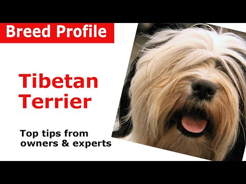 Tibetan Terrier dog breed guide