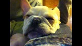 3 months old French Bull Dog Puppy Snoring