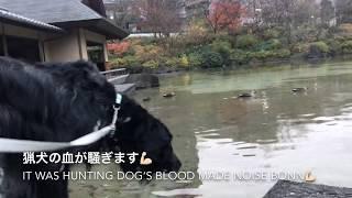 東京のど真ん中にある六本木ミッドタウンには鴨がいます。 先月から鴨に...