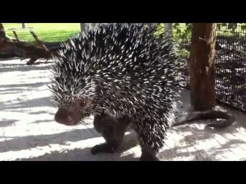 How do porcupines mate?