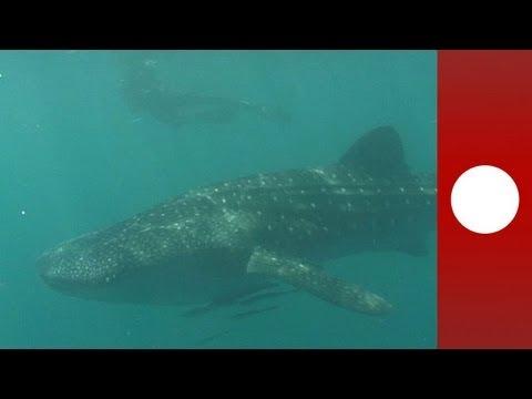Dev balina köpekbalıklarının son sığınağı Filipinler