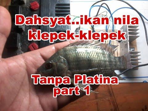Cara Membuat Strum Ikan Tanpa Platina - Part 1