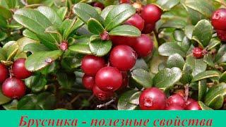 видео Листья брусники - полезные свойства и противопоказания