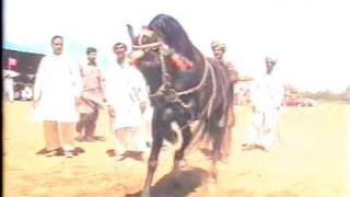 Nisar Stud Farm, Amer Nisar Khan, Garha Jatan, Festival, Kharian, Horse Dancing(Meradona)09
