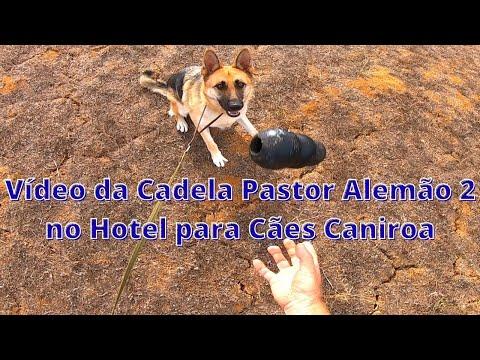 Vídeo da Cadela Pastor Alemão 2 no Hotel para Cães  Caniroa