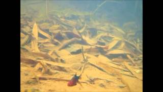 Cryptocoryne beckettii and The fish of Ceylon -DIscoveryPlanet-