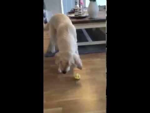 This golden retriever can't handle how sour a lemon tastes