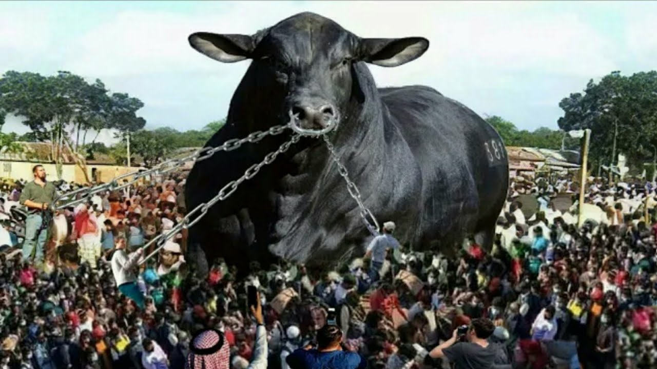 अगर रानी गाय को देख लिया तो दीवाने हो जाओगे रानी के | 10 Most Unique Cows In The World