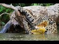 Jaguar attack - Jaguar vs crocodile otters capybaras - animals fight