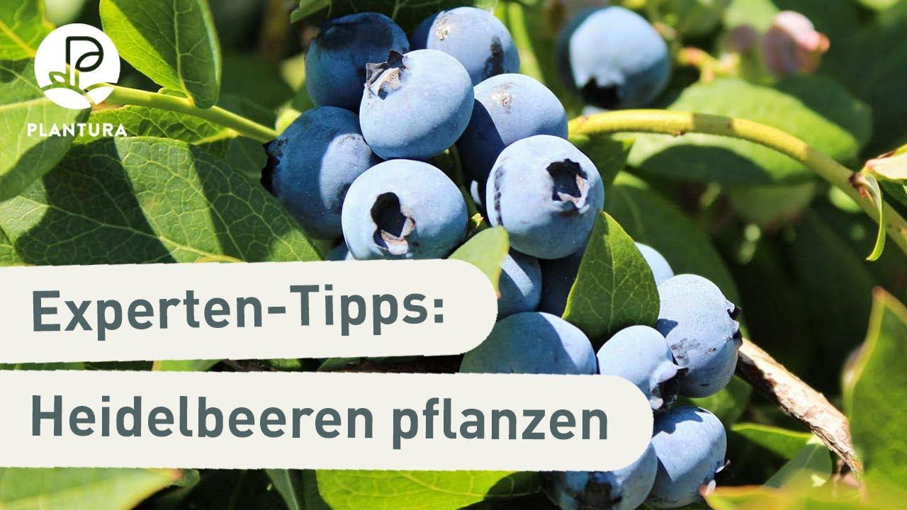 Top Heidelbeeren/Blaubeeren pflanzen: Zeitpunkt, Ansprüche & Standort #IH_57