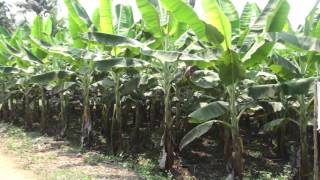 Banana farming in Kerala India