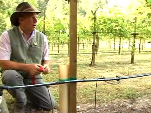 watering young vines in grow tubes