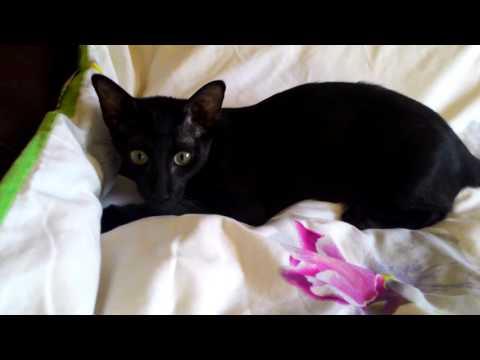 Любительница пошалить...Жизнь ориенталных котов!Oriental cat attacks!