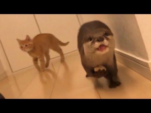 otter-sakura-that-escapes-so-as-not-to-take-chicken