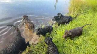Exercising 12 week old Portuguese Water Dog pups