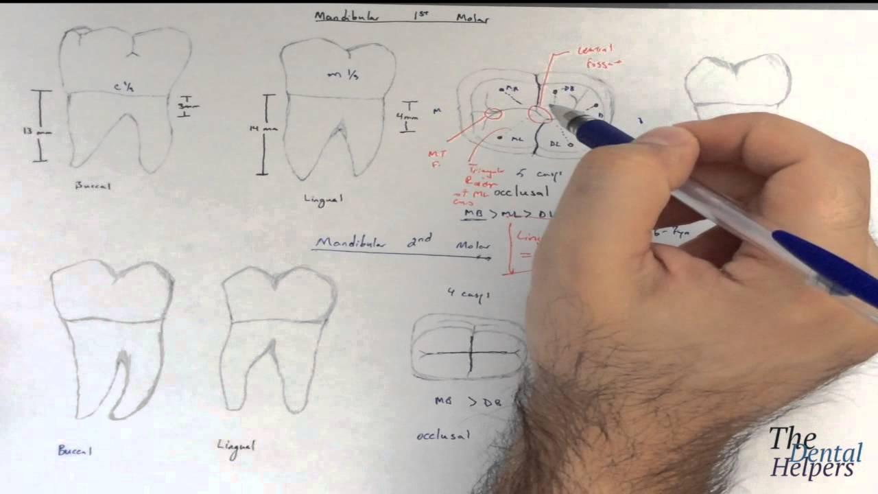 Dental Anatomy Mandibular Molars Youtube