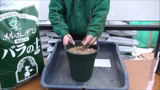 バラの土と植え替え動画 thumbnail