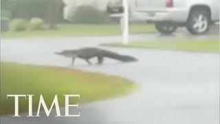 Alligator Braves Tropical Storm Florence | TIME