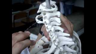 Позвонки ( vertebrae)