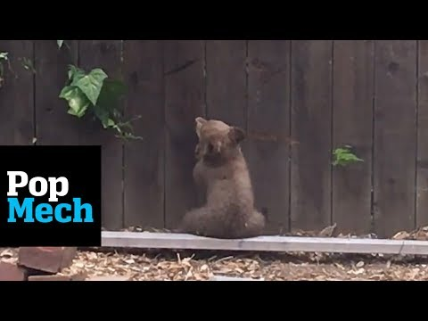 This Mother Bear Tries To Save Her Cub Who Got Stuck In Someone's Backyard   PopMech
