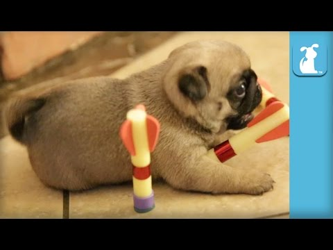 Precious Pug Puppies Play With Darts, Aren't That Good - Puppy Love