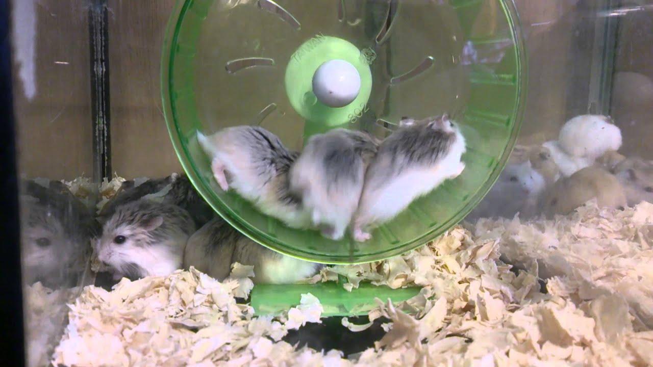跑滾輪的老鼠 - YouTube