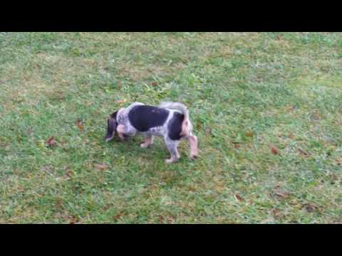 Two Bluetick Beagle puppies on a scent trail