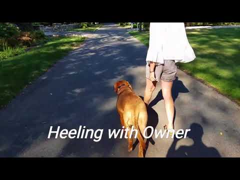 Stamford Dog Trainers/ Connecticut Dog Trainers - 1 year old French Mastiff, Tessa