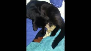 Midnight our black cat having baby kittens