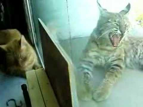 Indoor Cat And Bobcat 2 Youtube