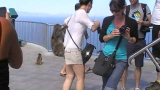 Gibraltar - Les singes attaquent !