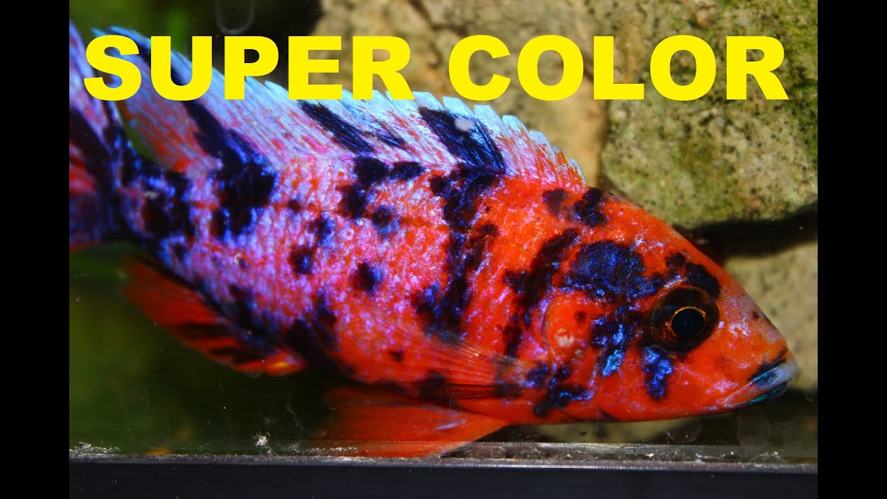 Colorful Cichlid Images >> Xystichromis Sp Kyoga Flameback. Review ...
