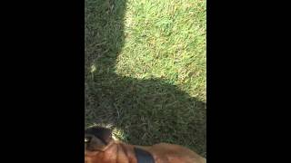 Whacky Buddy Boxer playin in the yard